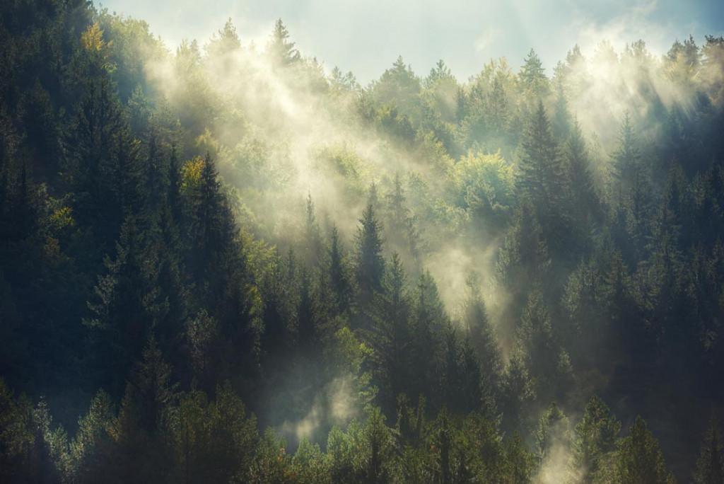 Фотообои Сосновый лес в тумане