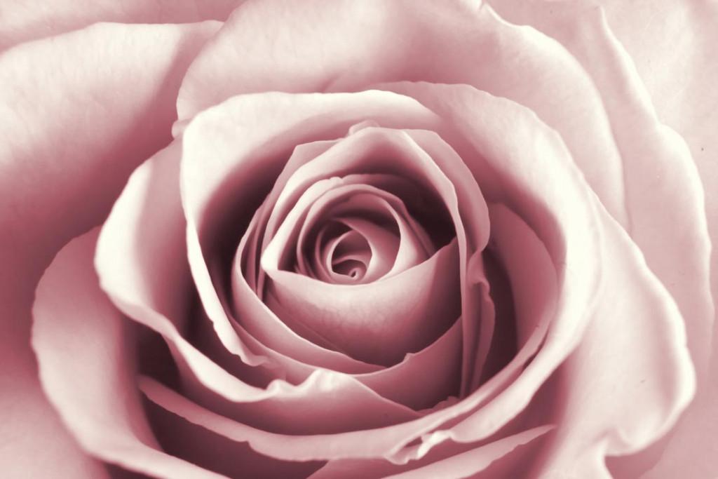 Фотообои Розовая роза