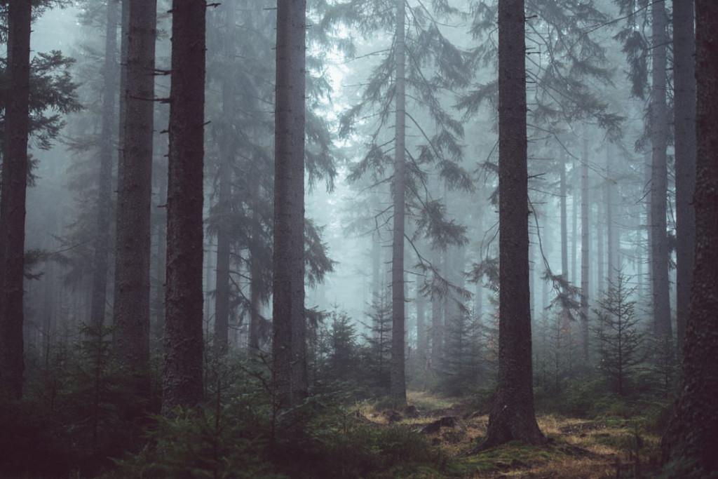 Фотообои Сосны в туманном лесу