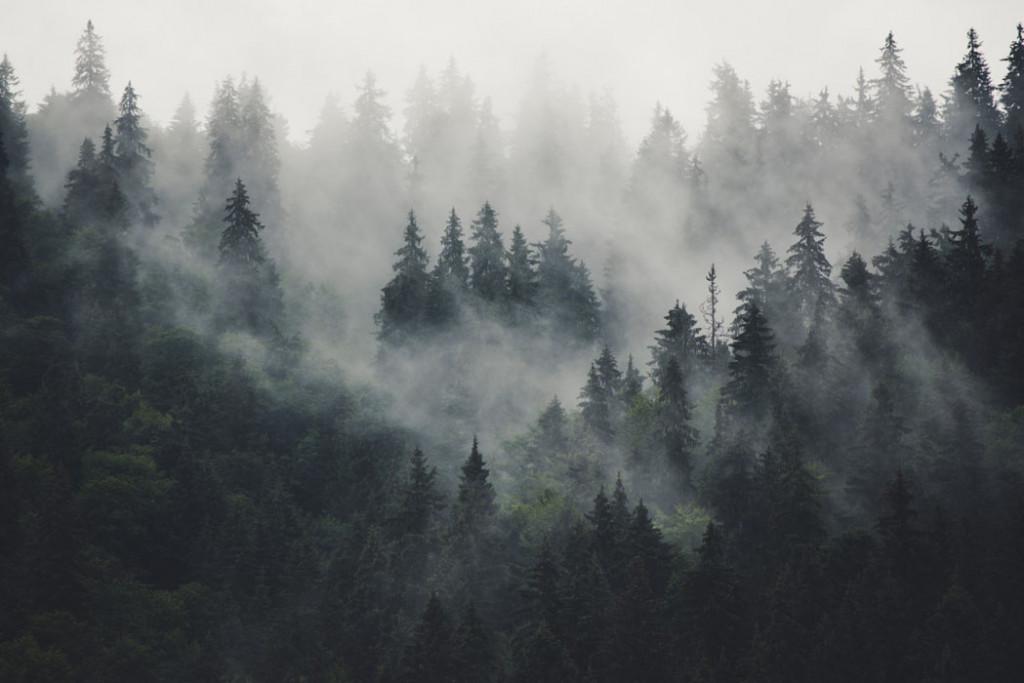 Фотообои Туманные сосны