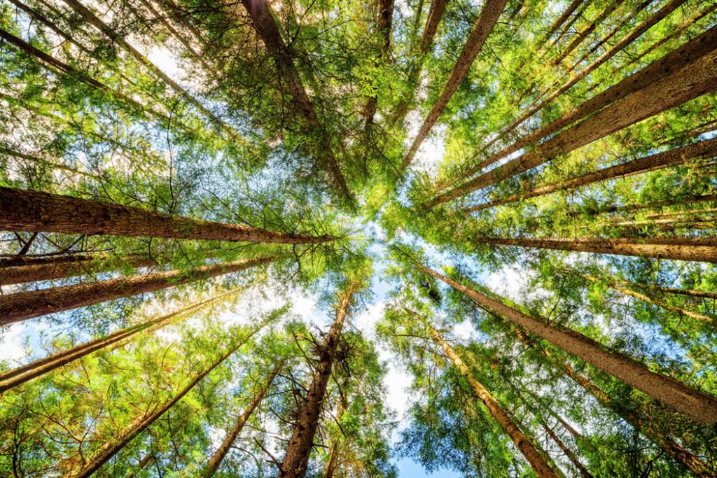 Фотообои Высокие деревья