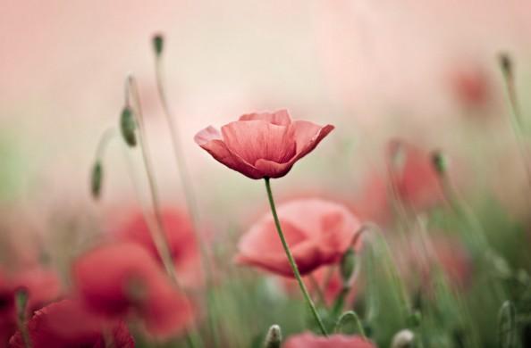 Фотообои Цветущий мак