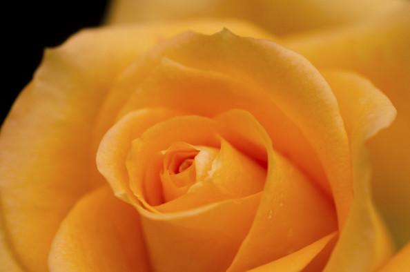 Фотообои оранжевая роза