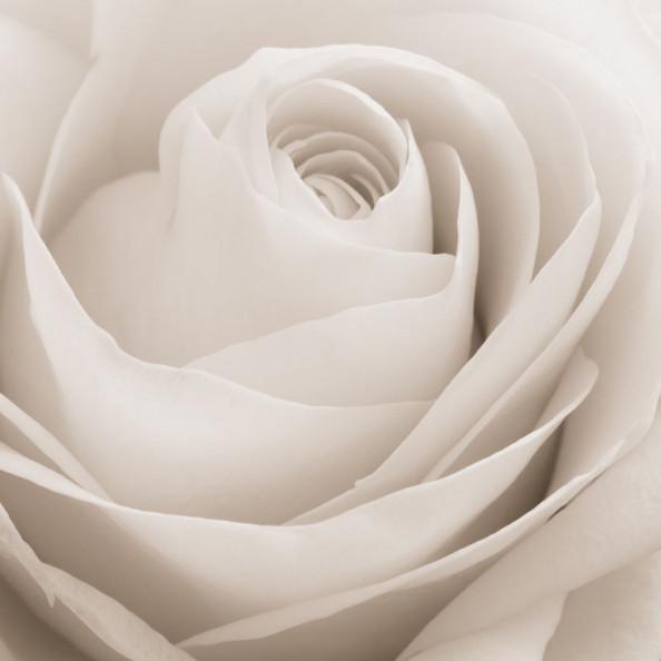 Фотообои Бежевый бутон розы