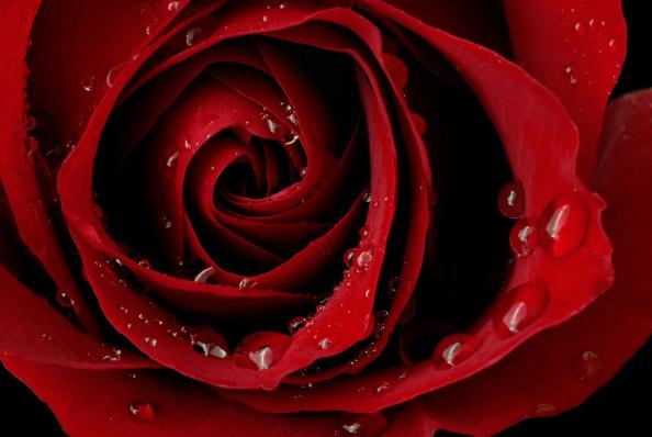 Фотообои бутон красной розы