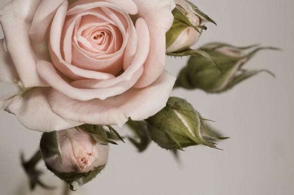 Фотообои Стильная роза