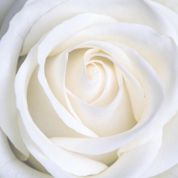 Фотообои Белый бутон розы
