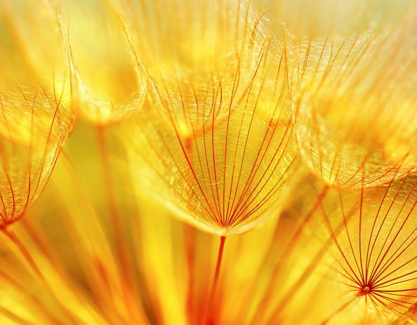 Фотообои желтые одуванчики