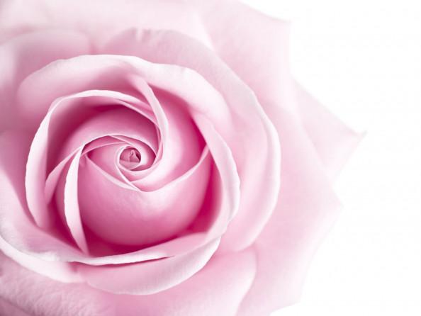 Фотообои нежно розовая роза