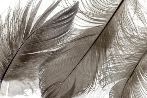 Фотообои Пушистые красивые перья
