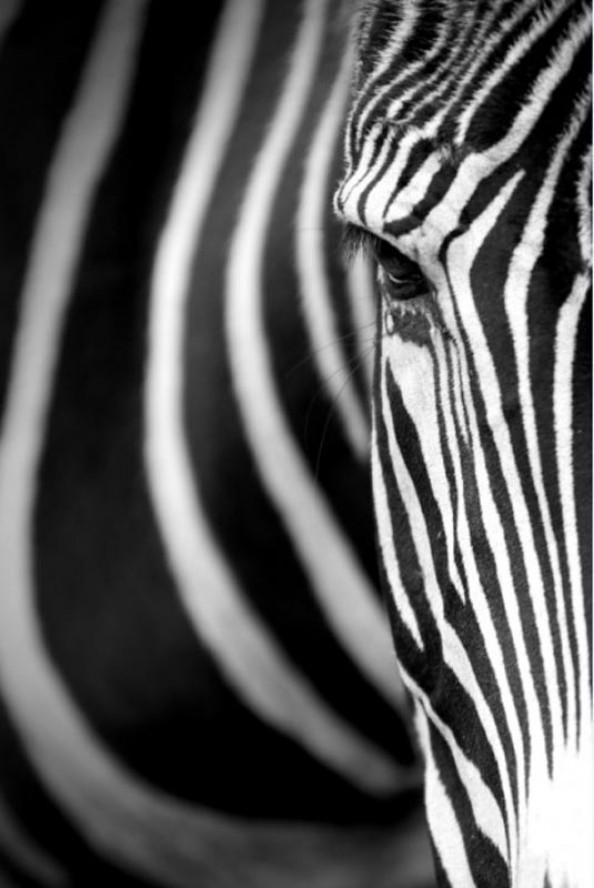Фотообои Взгляд зебры