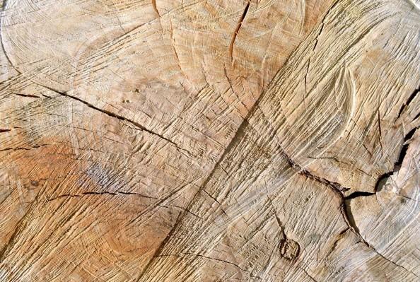 Фотообои Срез дерева
